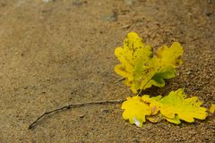 Oak leaf on the path Stock Photo