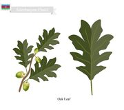 Oak Leaf, A Plant on National Emblem of Azerbaijan Stock Images