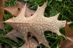 Oak leaf and raindrops Royalty Free Stock Photos