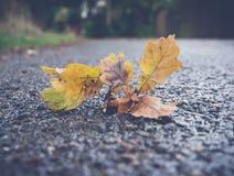 Oak leaf on a road Stock Photos