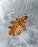 Oak leaf in snow Stock Images