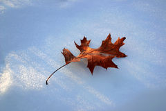 Oak leaf in snow royalty free stock photo
