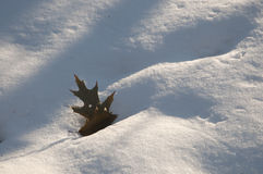 Oak leaf on snow Royalty Free Stock Photo