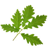 Oak Leaf Sprig Royalty Free Stock Photos