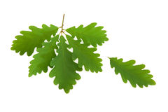 Oak Leaf Sprig Royalty Free Stock Photography