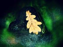 The oak leaf in stream. Caught rotten old oak leaf Stock Photography