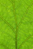 Oak leaf structure closeup Stock Photo