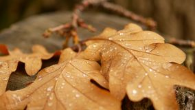 Oak leaf is on the stump. The dewdrop on the sheet. Autumn forest.  stock footage