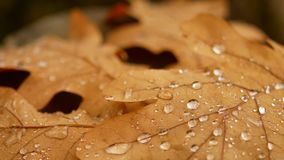 Oak leaf is on the stump. The dewdrop on the sheet. Autumn forest.  stock video footage