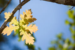 Oak leaf in sunlight Stock Image