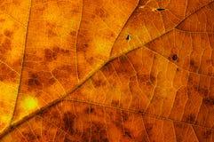 Oak leaf texture. Macro phoro of autumn oak leaf texture royalty free stock image