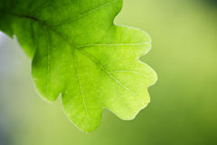 Oak leaf on tree. Close up of an oak tree leaf against a natural green background Royalty Free Stock Photography