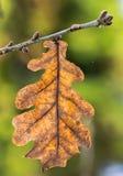 Oak leaf on a twig Stock Image
