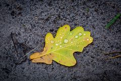 Oak leaf with water drops. Alone oak leaf with water drops on soil Royalty Free Stock Images