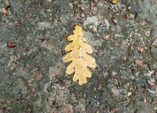 Oak leaf on wet asphalt background Royalty Free Stock Image