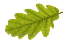 Oak Leaf on white background Royalty Free Stock Photography