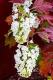 Oak-leafed hydrangea Hydrangea quercifolia. In a garden royalty free stock photography