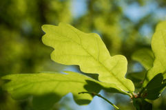 Oak leafs Royalty Free Stock Image