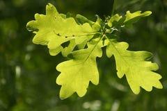 Oak leafs Royalty Free Stock Image