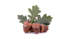 Oak leafs and acorns Royalty Free Stock Photo