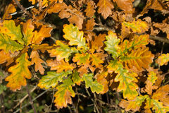 Brown oak leafs in autumn Stock Image
