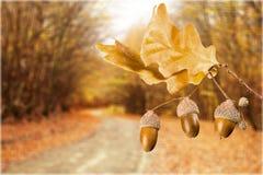 Oak leafs Stock Image