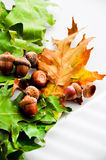 Oak leafs carpet with acorns Royalty Free Stock Images