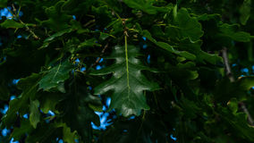 Oak leafs. This is a century oak tree leafs. The century tree grows in the small village of Varbovchets Royalty Free Stock Photography