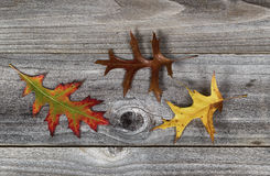 Oak Leafs with different Fall Season Colors Stock Images