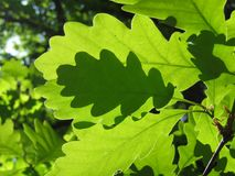 Oak leafs. Fresh green oak leafs in the spring Royalty Free Stock Photography