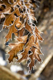 Oak leafs with frost on then Stock Image