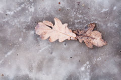 Oak Leafs Stock Images