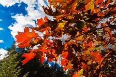 Oak leather   leaves Stock Image