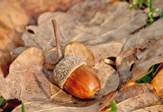 Oak leave and acorn. Autumn oak leaves background with acorn Royalty Free Stock Photos