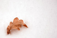 Oak leave in the snow isolated. Isolated leave of aok tree in the snow Royalty Free Stock Photos