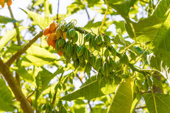Oak leaved papaya fruit tree. Royalty Free Stock Image