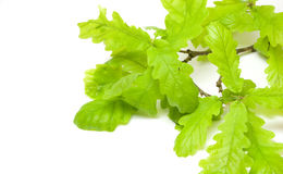 Oak leaves Stock Photo