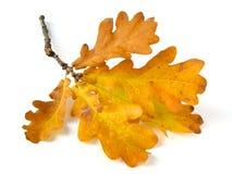 Free Oak Leaves Stock Images - 11069484