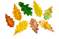 Oak Leaves Stock Photography