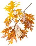 Oak Leaves Royalty Free Stock Photo