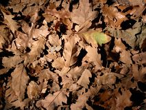 Oak leaves. Are often seen in autumn in a forest. Perfect for different backgrounds Royalty Free Stock Images