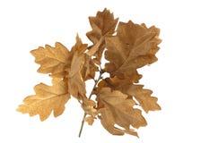 Free Oak Leaves Royalty Free Stock Photo - 13234545