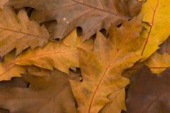 Oak Leaves. Colourful pile of oak leaves Royalty Free Stock Photos