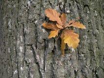 Oak leaves. On bark background stock photography