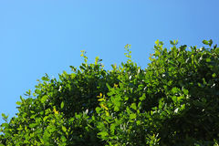 Oak leaves. On a tree under the sun on a bright day. Clear blue sky at the background Royalty Free Stock Image