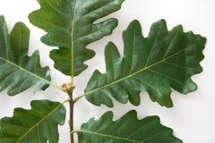 Oak leaves Royalty Free Stock Image