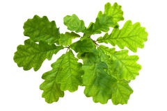 Oak Leaves. In backlighting, isolated on a white background Royalty Free Stock Photo