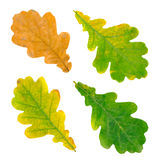 Oak leaves Royalty Free Stock Image