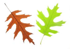 Oak leaves Royalty Free Stock Photos
