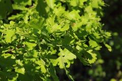 Oak leaves. Stock Photography